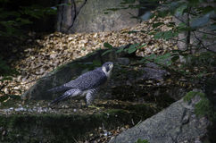 一只单独和美丽的旅游猎鹰 库存照片