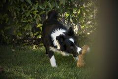 一只博德牧羊犬小狗的画象在庭院里 免版税库存照片