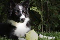一只博德牧羊犬小狗的画象在庭院里 库存图片
