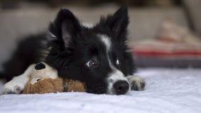 一只博德牧羊犬小狗的画象在sofÃ的 免版税库存图片