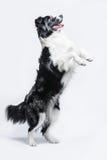 一只博德牧羊犬的画象在灰色背景的,抚养  库存图片
