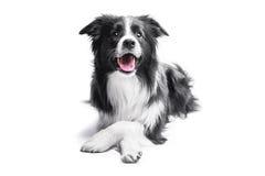 一只博德牧羊犬的画象在轻的背景的 免版税库存图片