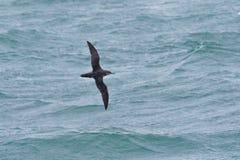 一只危急地危险的拜雷阿尔斯海鸥类飞鸟在飞行中在海洋 免版税库存图片