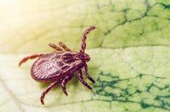一只危险寄生生物和传染载体小蜘蛛坐一片绿色叶子 免版税图库摄影