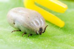 一只危险寄生生物和传染载体小蜘蛛坐一片绿色叶子 免版税库存图片