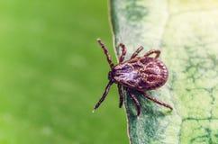 一只危险寄生生物和传染载体小蜘蛛坐一片绿色叶子 库存图片