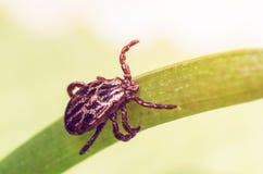 一只危险寄生生物和传染载体小蜘蛛坐一片绿色叶子 库存照片