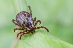 一只危险寄生生物和传染载体小蜘蛛坐一片绿色叶子 免版税库存照片