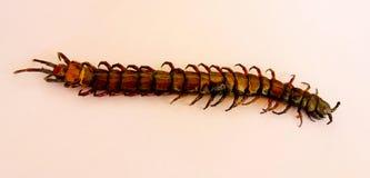 一只危险热带昆虫 免版税图库摄影