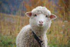 一只卷曲绵羊的画象与一个桃红色鼻子的 免版税库存照片