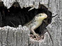 一只卷曲被盯梢的蜥蜴从它掩藏的斑点偷看  免版税库存图片