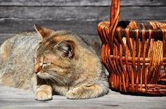 一只厚实的猫在一个空的柳条筐谎言旁边位于a 免版税图库摄影
