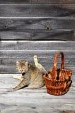 一只厚实的猫在一个空的柳条筐谎言旁边位于a 免版税库存图片