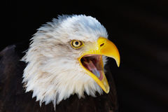 一只叫喊的老鹰的特写镜头纵向 免版税库存照片