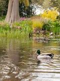 一只可爱的公野鸭在从边看见的湖 库存图片