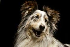 一只可爱的博德牧羊犬小狗的画象 库存图片