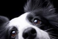 一只可爱的博德牧羊犬的画象 库存图片