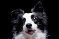 一只可爱的博德牧羊犬的画象 免版税库存照片