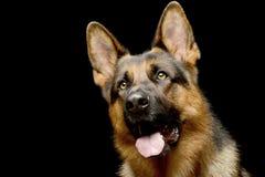 一只可爱的德国牧羊犬的画象 库存照片