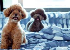 一只可爱的愉快的棕色和黑狮子狗微笑和坐杂乱床以后醒与所有者早晨 图库摄影