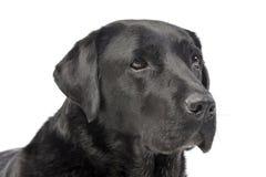一只可爱的拉布拉多猎犬的画象 库存照片