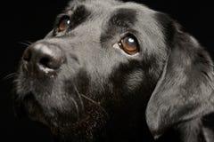 一只可爱的拉布拉多猎犬的画象 库存图片