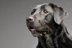 一只可爱的拉布拉多猎犬的画象 免版税库存照片