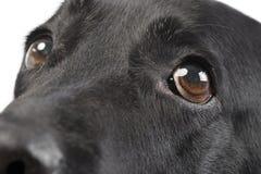 一只可爱的拉布拉多猎犬的画象 图库摄影