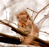 一只可爱的灰鼠坐树枝 松鼠科动物细节  看正确您的灰鼠特写镜头 库存照片