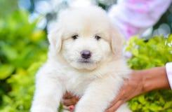 一只可爱的金毛猎犬小狗 免版税图库摄影