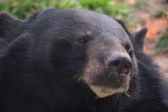 一只可爱的黑熊 免版税库存照片