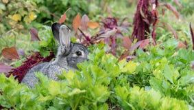 一只可爱,逗人喜爱,小,灰色兔子 库存图片