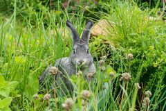 一只可爱,逗人喜爱,小,灰色兔子 图库摄影