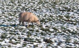 一只吃草的绵羊在一个多雪的草甸 免版税库存图片