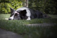 一只哀伤的博德牧羊犬小狗的画象 库存图片