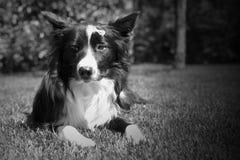 一只哀伤的博德牧羊犬小狗的画象 免版税库存图片