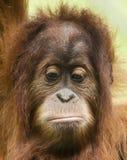 一只哀伤的幼小猩猩的一张接近的画象 免版税库存照片