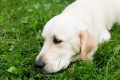 一只哀伤的狗金毛猎犬的画象 图库摄影
