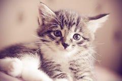 一只哀伤的矮小的灰色小猫的画象 免版税库存照片