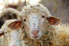 一只哀伤的绵羊 库存图片