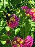一只哺养的蜂的宏指令 免版税图库摄影