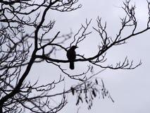 一只唯一乌鸦在一棵冬天树的分支栖息在剪影的 库存图片