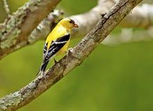 一只唯一小黄色鸟坐分支 免版税库存照片