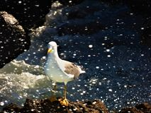 一只唯一海鸥 库存照片