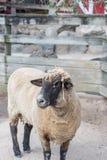 一只唯一绵羊的特写镜头 库存照片