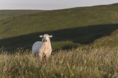 一只唯一羊羔,看直接地照相机 图库摄影