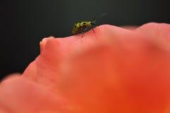 一只唯一被察觉的黄瓜甲虫(Diabrotica undecimp的特写镜头 免版税图库摄影