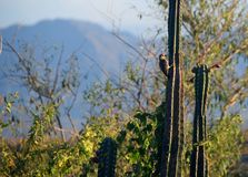 一只啄木鸟在Tatacoa沙漠 免版税库存图片