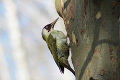 一只啄木鸟 免版税库存照片