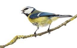 一只啾啾叫的蓝冠山雀的背面图在分支栖息 库存照片